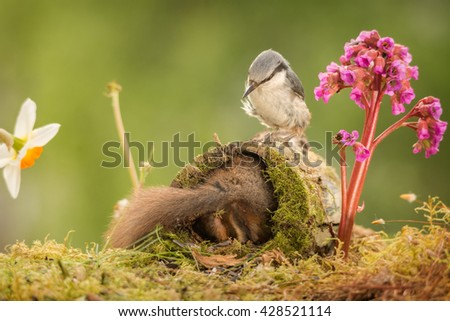 close up red squirrel back in tree trunk and nuthatch on top watching with lila flower - stock photo
