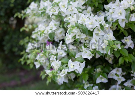 close up white bougainvillea flower in garden