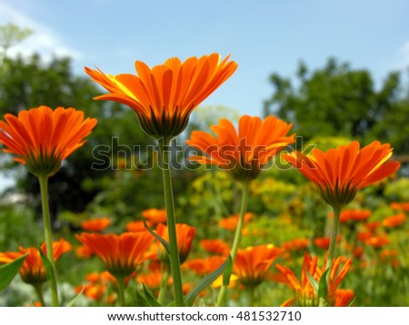 closeup of a medical  marigold flowers (Calendula officinalis) in the meadow