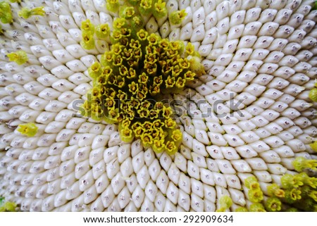 Closeup of a sunflower - stock photo