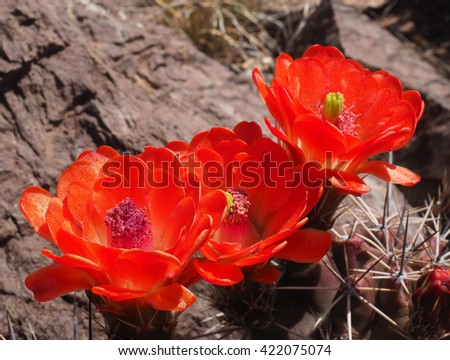 Closeup of Claret-Cup Cactus Blossoms - stock photo