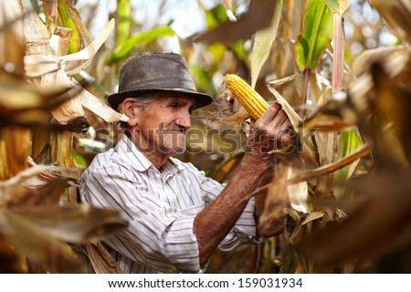 Closeup of old man at corn harvest - stock photo