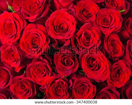 Closeup of Red Roses - stock photo