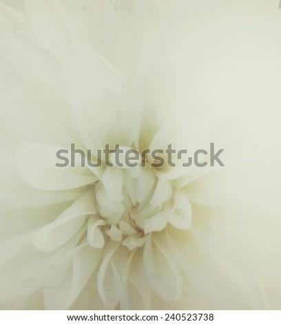 Closeup of white gerbera flower, vintage tone - stock photo