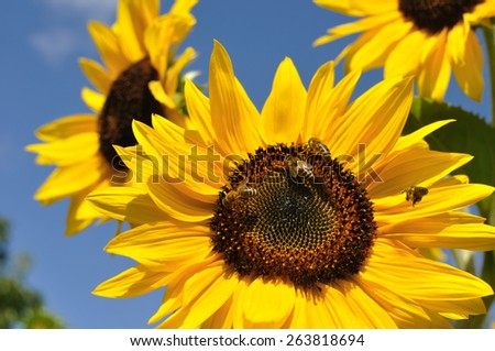 closeup of working bee on blooming sunflower in summer day - stock photo