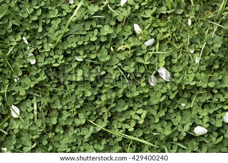 clover on the white background - stock photo