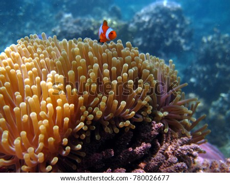 clown fish above anemone