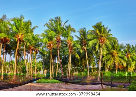 Coconut tree with fruits-coconuts,on a tropical island in the Maldives, middle part of the Indian Ocean. - stock photo