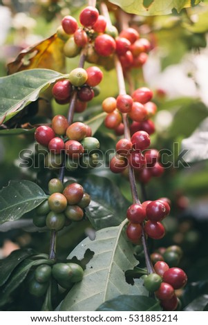 coffee beans in the garden.Natural Process coffee beans.