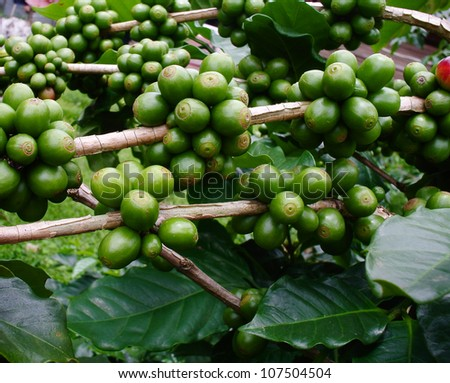 coffee beans on coffee tree. - stock photo