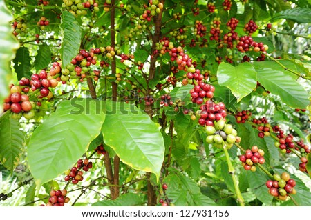 Coffee - Coffee tree with ripe - Coffee beans on trees