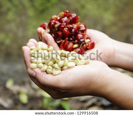 coffee - fresh coffee seed in hand - stock photo