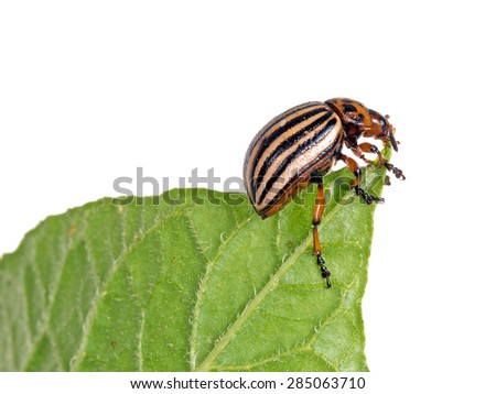 Colorado potato beetle, Leptinotarsa decemlineata, feeding on potato leaf, isolated on white. - stock photo