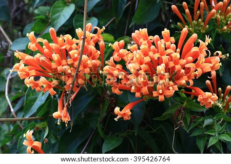 colorful flame orange color flowers of Pyrostegia venusta, Orange trumpet, genus Pyrostegia, family Bignoniaceae blooming on a fence in tropical zone and THAILAND ,BIGNONIACEAE - stock photo