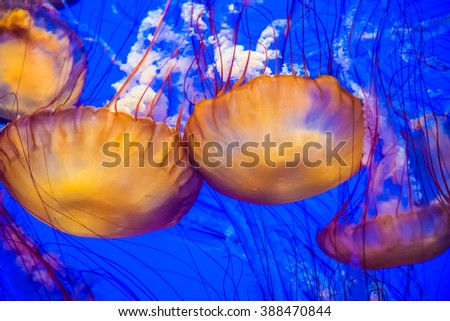 Colorful orange Sea Nettles jellyfish with blue background. Sea Nettles (Chrysaora fuscescens) are a type of jellyfish that inhabit the open waters of the Pacific Ocean.  - stock photo