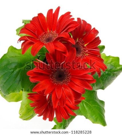 colorful red daisy gerbera flower on white background - stock photo
