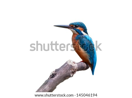 Common Kingfisher (Alcedo atthis) that immigration kingfisher on white background. - stock photo