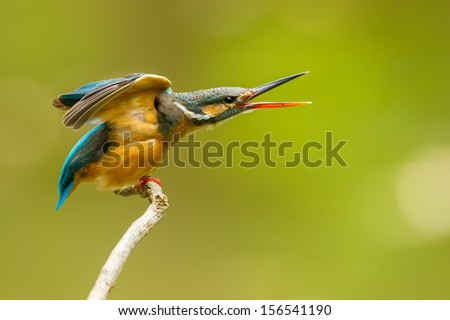 Common Kingfisher on screaming position in nature - stock photo