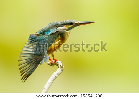 Common Kingfisher spread her wing to show her feature  - stock photo