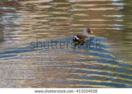 Common moorhen (Gallinula chloropus) swimming on the pond