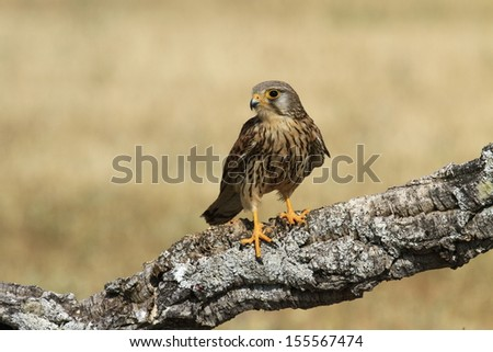Common or South African Kestrel Falco  tinnunculus - stock photo