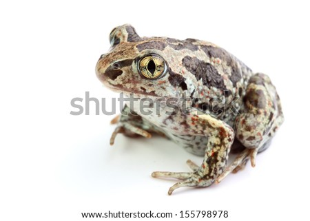 Common Spadefoot (Pelobates fuscus) isolated on white - stock photo