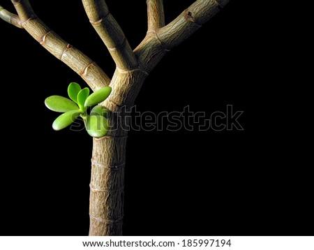 conceptual image of Crass ula Ova ta ( Money Tree, Jade Plant), isolated on black - stock photo