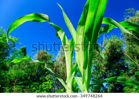Corn crops tree - stock photo