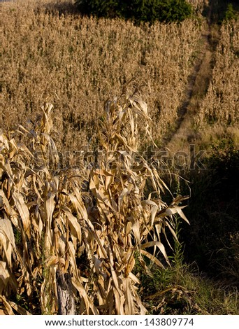 Corn Pod and leafage.Dry Pod Corn in farm after gather maize season.in top view shot. - stock photo