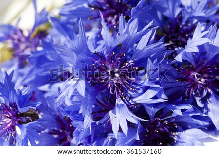 cornflower blue flowers photographed in a field where cultivated cereals
