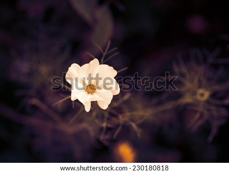 Cosmos flower. Color toned image. Selective focus with shallow depth of field.  - stock photo