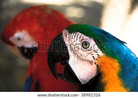 """Couple of parrots"" - stock photo"