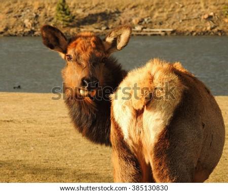 cow elk in estes park, colorado         - stock photo