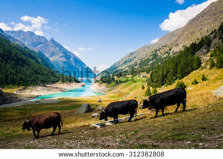 3 cow pasturing in a Place Moulin lake - stock photo