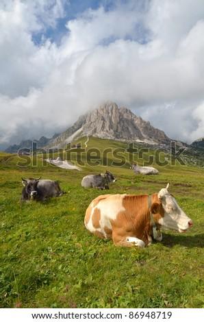 cow resting - stock photo