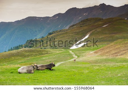 Cows in an Alpine meadow - stock photo