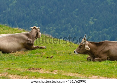 2 Cows resting on the Kronberg Meadows in the Swiss Alps. Overlook on the Alpstein Mountain Range. Canton of Appenzell Innerrhoden, Switzerland. - stock photo