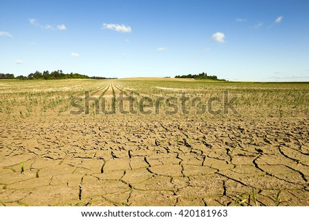 cracked earth due to lack of water on the field, where they grow corn. summer.