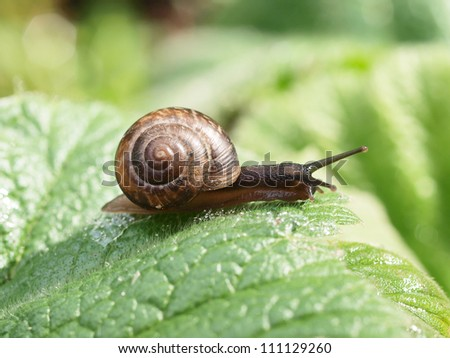 Crawling snail on a green leaf - stock photo