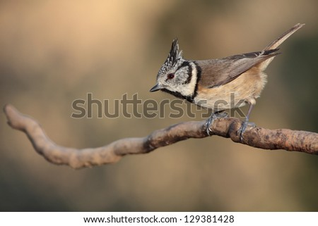 crested tit perched - stock photo