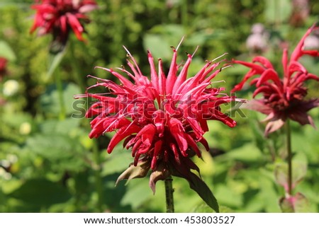 """Crimson Beebalm"" flower (or Scarlet Beebalm, Scarlet Monarda, Oswego Tea, Bergamot) in St. Gallen, Switzerland. Its Latin name is Monarda Didyma, native to eastern North America."