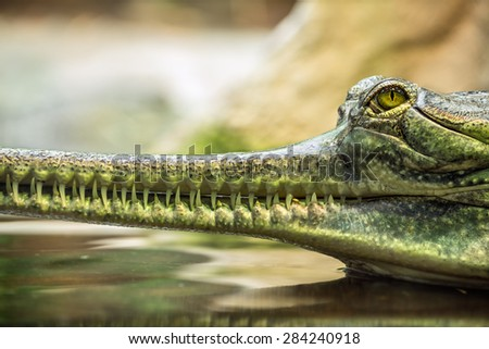 Critically Endangered gharial (Gavialis gangeticus), also knows as the gavial - stock photo