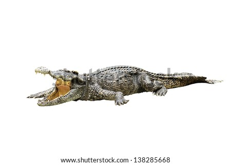 crocodile on white background crocodile on white background  strength predator powerful alligator carnivore dangerous crocodile amphibian aggressive aggression  - stock photo