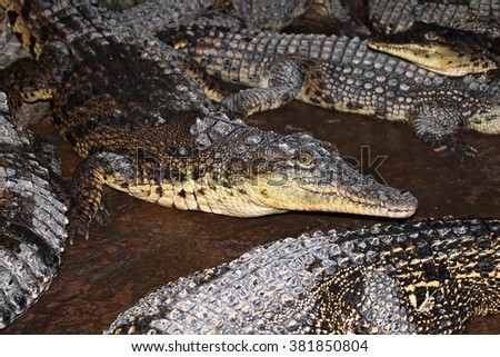 Cuban crocodiles (Crocodylus rhombifer) - partly out of focus, focus on the center of the image