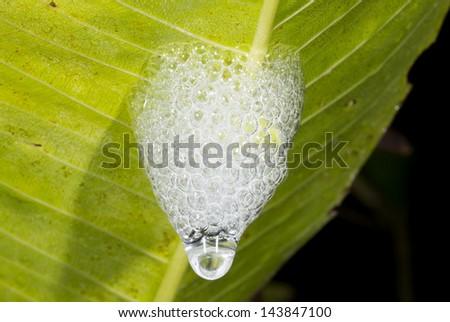 """cuckoo spit"" foam made by a froghopper larva under a leaf in rainforest, Ecuador - stock photo"
