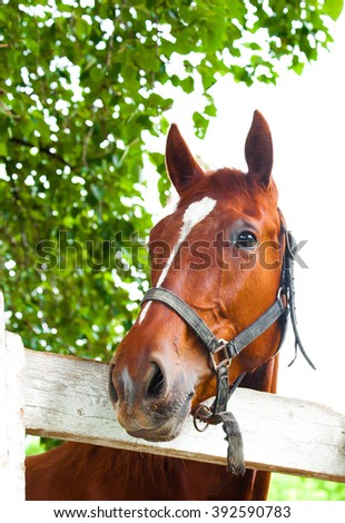 curiosity red horse muzzle of the halter over the white wooden fence on the background of bright green foliage at the track in the summer