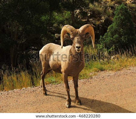 Curious    big horn sheep  ram  along the trail in waterton canyon, colorado