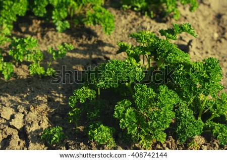 Curled parsley. Young green parsley in a kitchen garden close up - stock photo