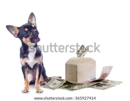 Cute dog chihuahua is happy with money isolated - stock photo