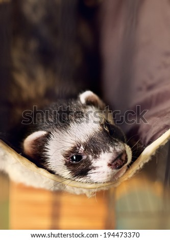 cute ferret lying on its hammock, looking to camera